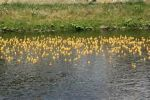 Blyth Rotary Club Duck Race