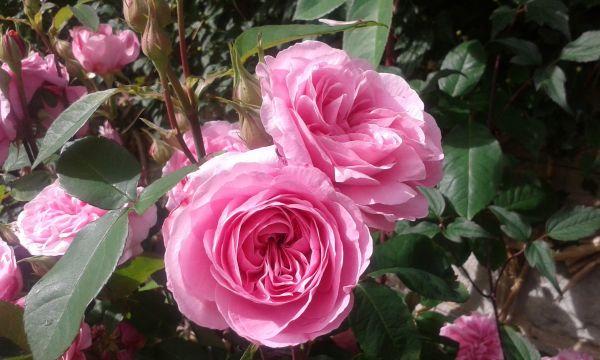 David Austin Roses front garden