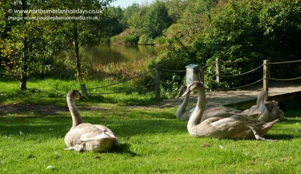 Swan Life at Country Park