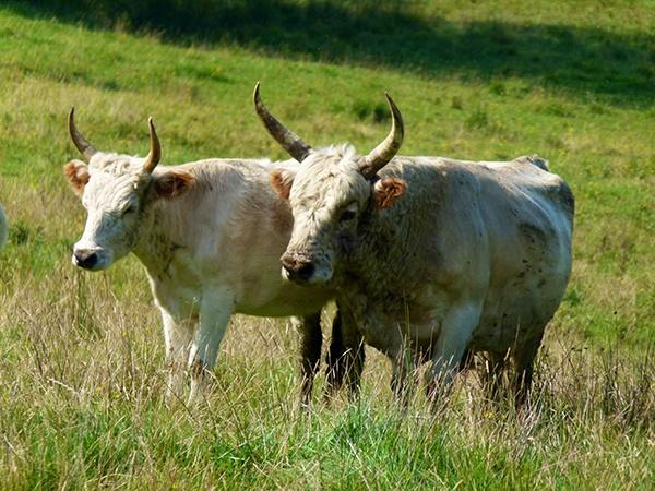 Bull & Cow