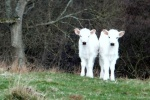 One Week Old Calves is near Outchester & Ross Farm Cottages
