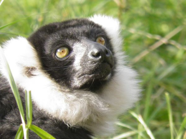 Ruffed Neck Lemur