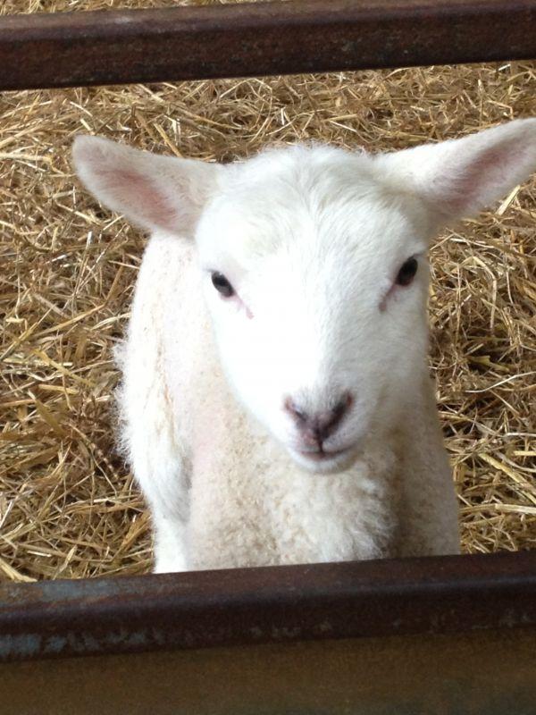 Lambing Weekend