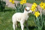 LambingWeekend