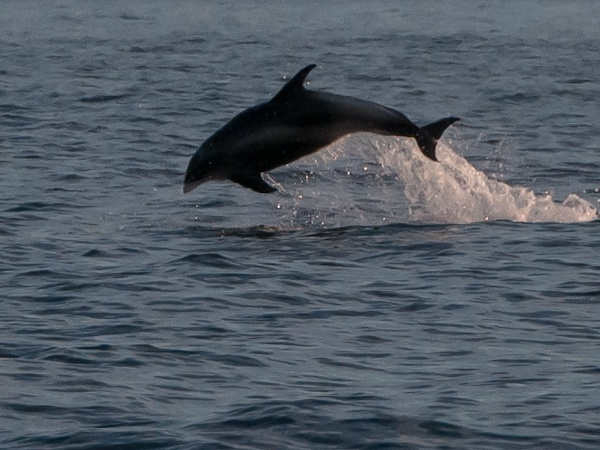 White-beaked Dolphin, Northern Experience Pelagic 26/07/2013
