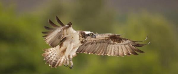 Osprey watch