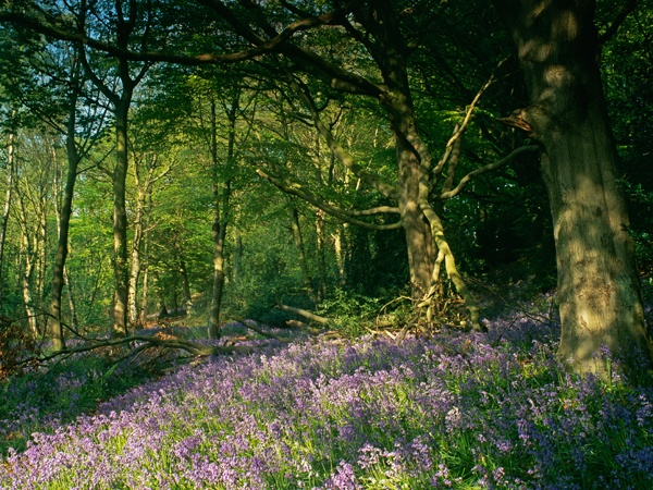 Bluebell Woods in Morpeth