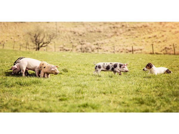 Piglets and Sadie
