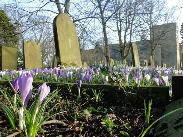Crocuses in the Churchyard