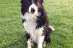Cal the Border Collie