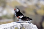 Puffin numbers rally after 2008 crash