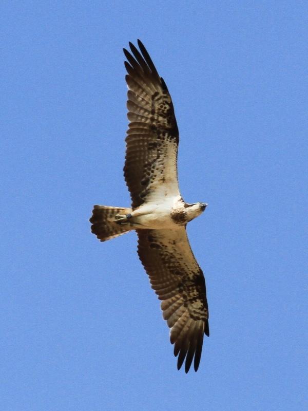 A flying visit for Kielder osprey