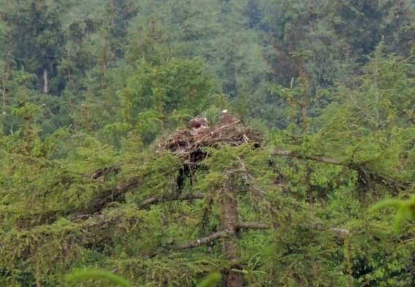 Hat-Trick for Ospreys at Kielder