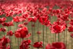Woodhorn: Weeping Window poppies tour information