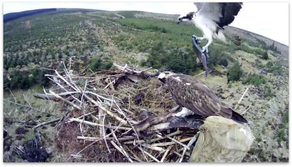 INCOMING! Eyes to the skies for the return of the Kielder Ospreys