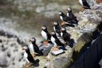 Farne Island puffins to be monitored annually in an attempt to stop the global decline in numbers