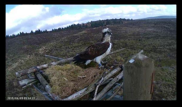 Kielder osprey returns home