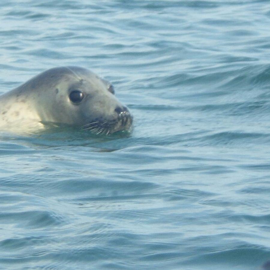 Kayas and Seals