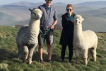 Alpaca walks in the grounds of Bamburgh Castle
