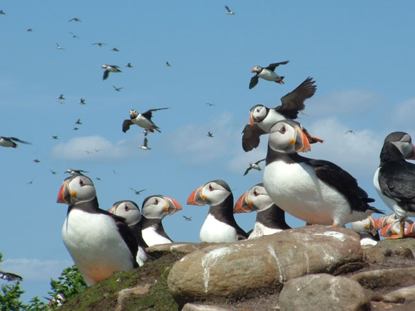Puffins on Coquet Island