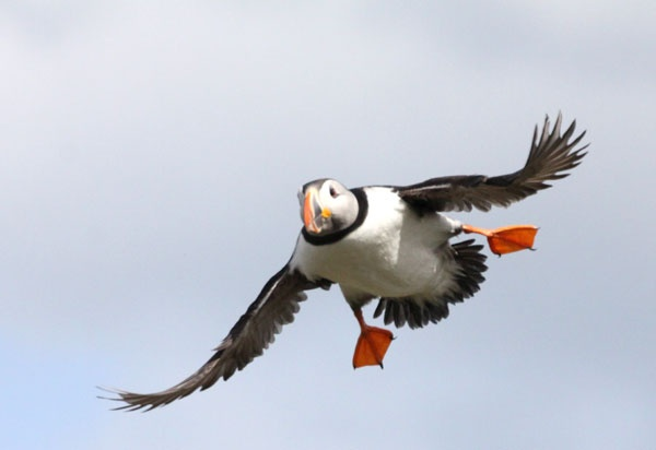 swooping puffin on coquet Island