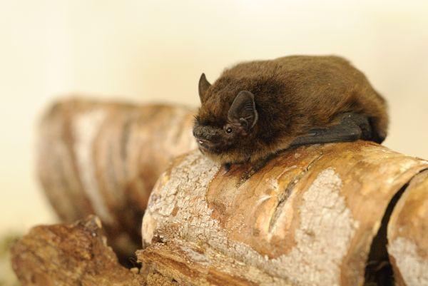 Pipistrelle Bat -Taken By Amy Lewis