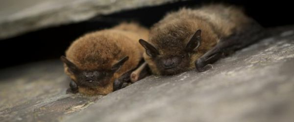 Bats at Hauxley
