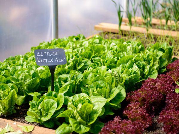 Home Grown Lettuce