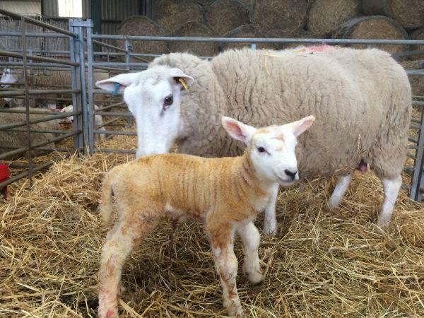 Ewe and new born lamb