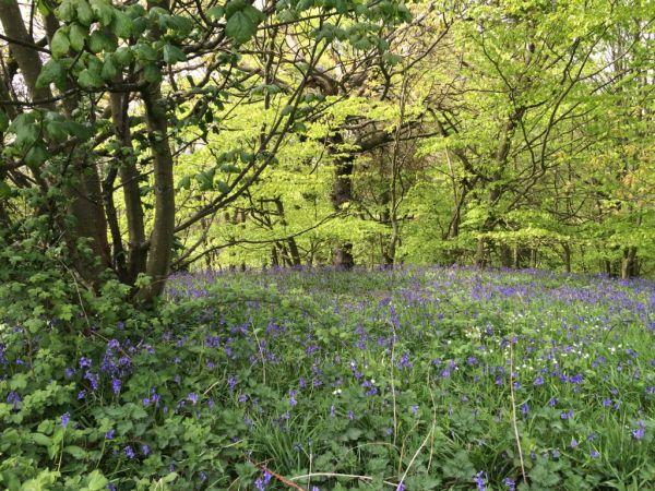 Bluebell Walk - Ratcheugh Crag