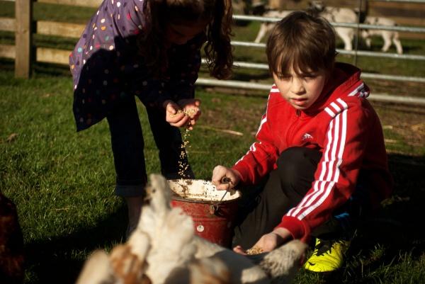 Hand feeding hens