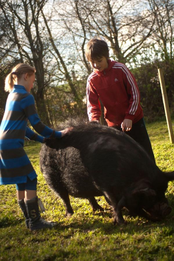 Tickling pigs