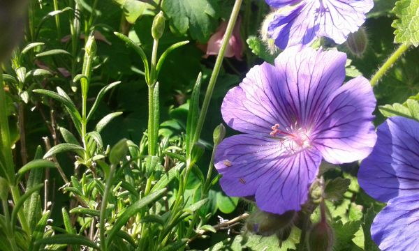 Geranium and Rosemary