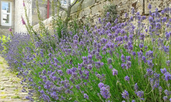 Glorious Lavender hedge