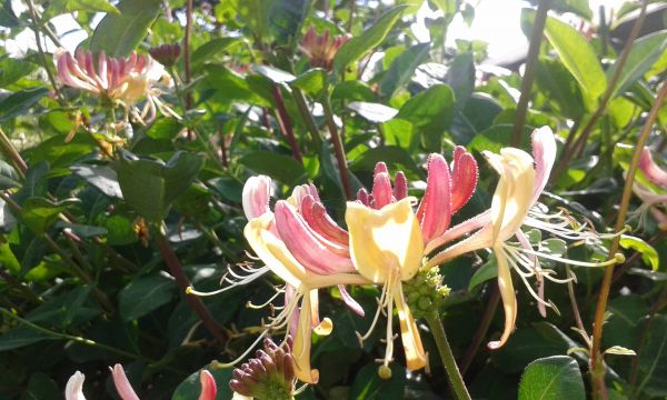 Heavenly Honeysuckle