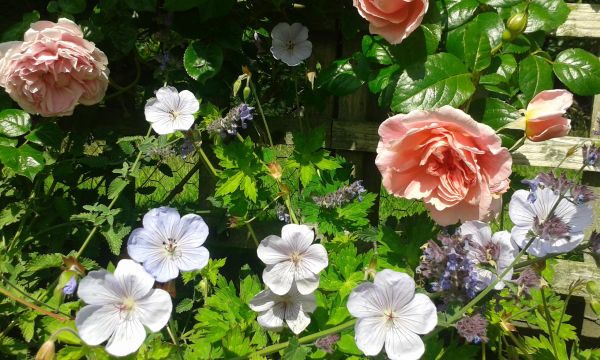 Roses and Geraniums