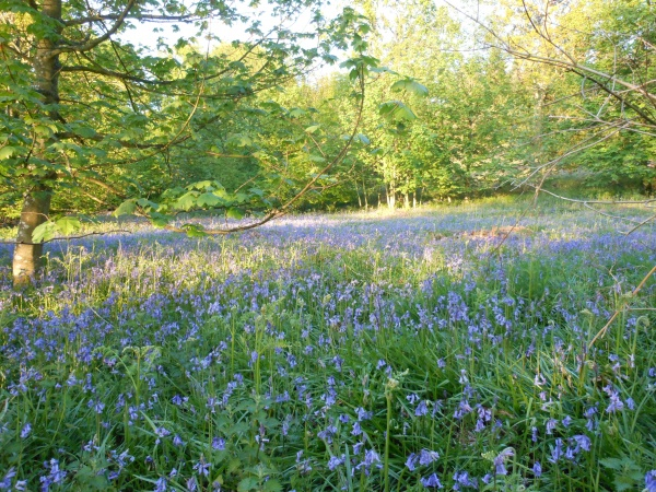 Bluebells in Callaly woodland