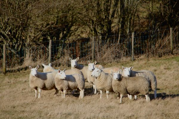Pedigree Cheviot Sheep