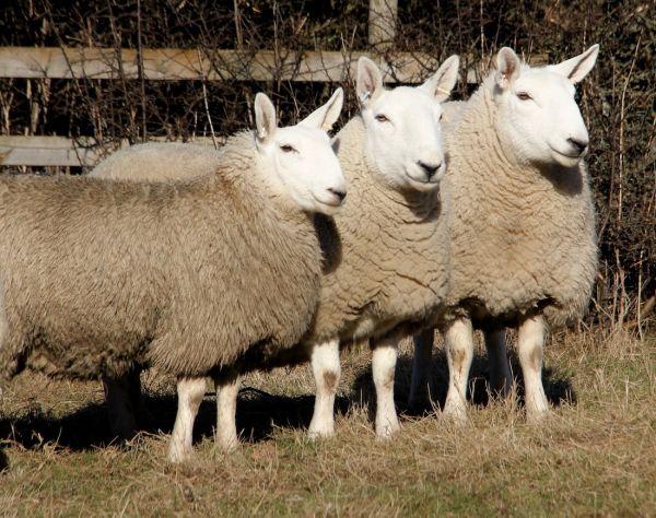 Cheviot Sheep and Lambs