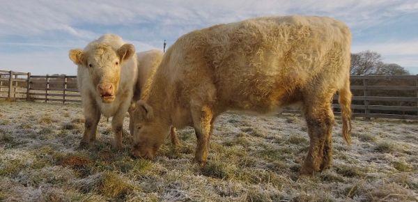 Whitebread Shorthorn Cattle