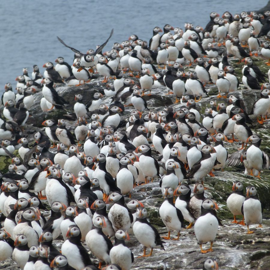 Lots of puffins
