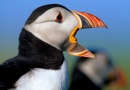 Puffins on The Farne Islands is near St Aidan's Cottage