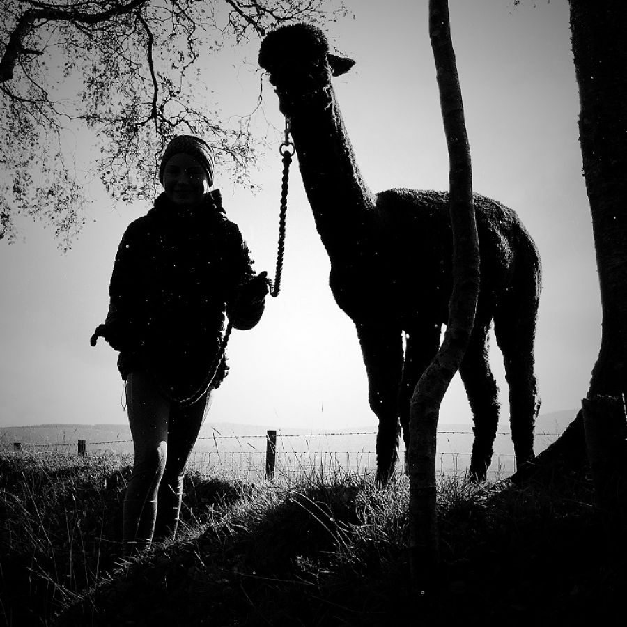 alpaca shilouette