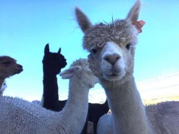 Visit Ferny Rigg Alpacas is near The Holly Bush Inn