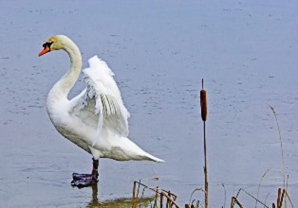 Swan at Hauxley