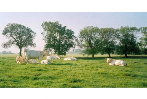Cows from sitting room window