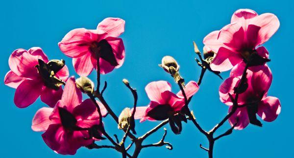 Magnolia Cambelii