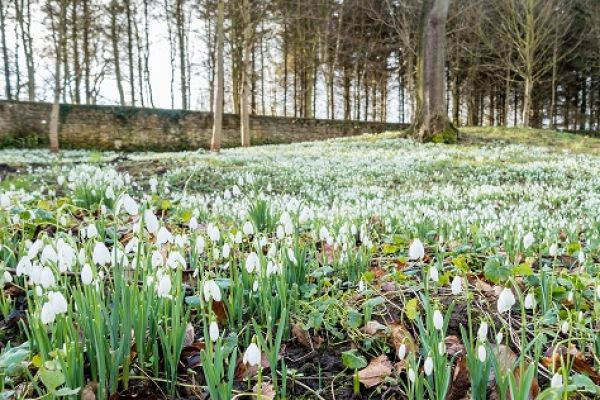 Snowdrops at Howick