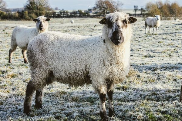 Sheep at Hunting Hall