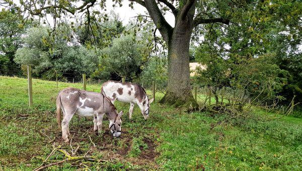 The Hunting Hall donkeys, Freddie and Jamie